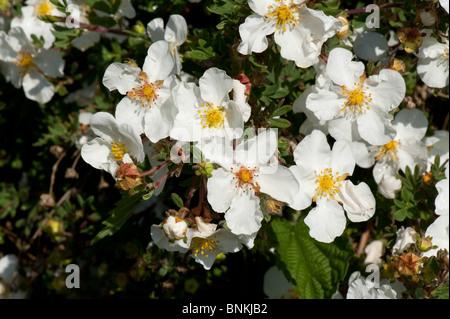 Cistus X Corbariensis Blütenstrauch - Stockfoto
