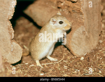 Mongolische Rennmaus - betteln / Meriones Unguiculatus - Stockfoto