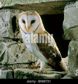 Schleiereule - stehend / Tyto Alba - Stockfoto