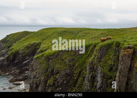 Braunbär-Sau und jungen Essen Segge Gräser auf Felsen über Hallo Bay, Katmai Nationalpark, Alaska, Sommer - Stockfoto