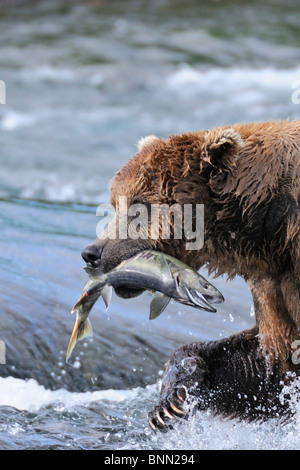 Ein Braunbär trägt Weg ein Chum Salmon, die es im McNeil River Falls, McNeil River State Game Sanctuary, Alaska - Stockfoto