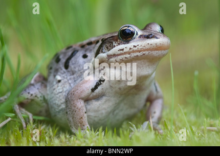 Holz-Frosch am Copper River Delta in den Sommermonaten, Alaska - Stockfoto