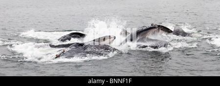 USA; Alaska; Eisige gerade; Buckelwale Blase net füttern - hohe Auflösung Panorama - Verbund von mehreren Bildern - Stockfoto