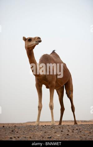 1001 Kamele (camelus dromedarius) im Wüstensand in den Vereinigten Arabischen Emiraten - Stockfoto