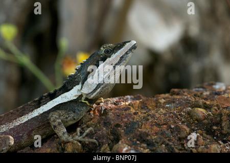 Eines erwachsenen männlichen Northern Water Dragon (Amphibolurus Temporalis) in Darwin, Northern Territory, Australien. - Stockfoto