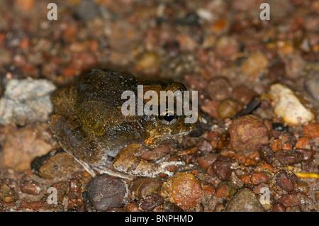 Eine reich verzierte wühlen Frosch (Platyplectrum Ornatum) hocken auf der felsigen Oberfläche der Fogg Dam, Northern - Stockfoto