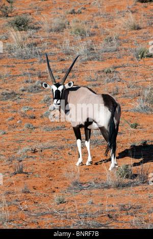 Oryx auf einer roten Sanddüne im Kgalagadi Transfrontier National Park in Südafrika und Botswana - Stockfoto