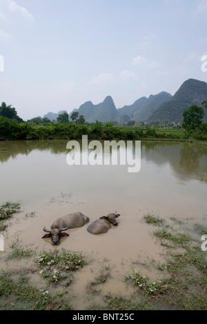 Zwei Wasserbüffel in dem Lijiang-Fluss - Stockfoto