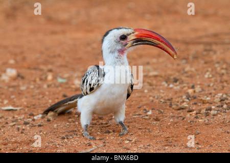 Rot-billed Hornbill (Tockus Erythrorhynchus) mit einer Heuschrecke. - Stockfoto