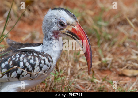 Rot-billed Hornbill (Tockus Erythrorhynchus) Porträt. - Stockfoto