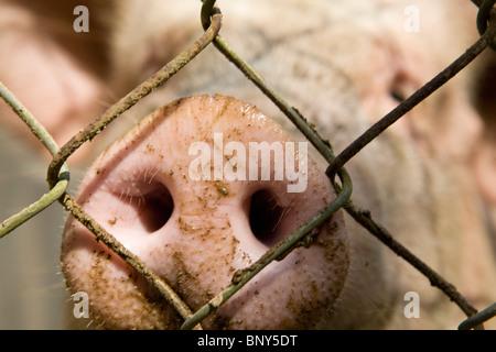 Bauernhof Schwein im Stift, close-up der Schnauze - Stockfoto