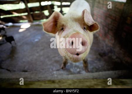 Bauernhof Schwein im Stift, Mangthit Dorf, Provinz Vinh Long, Vietnam - Stockfoto