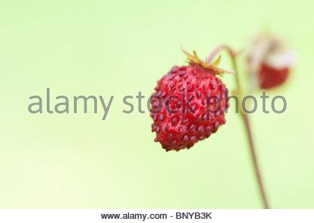 wald erdbeeren fragaria vesca stockfoto bild 61901399. Black Bedroom Furniture Sets. Home Design Ideas