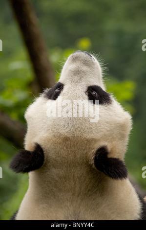 Giant Panda suchen Skywards, Wolong, Provinz Sichuan, China. - Stockfoto