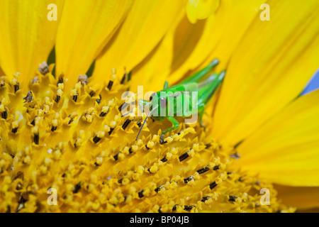Nahaufnahme, Green Grasshopper auf eine Sonnenblume.  Winnipeg, Manitoba, Kanada. - Stockfoto