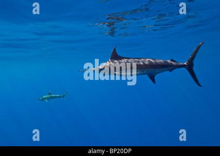 Blauer Marlin, Makaira Nigricans, Kona Coast, Big Island, Hawaii, USA - Stockfoto