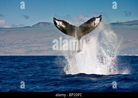 Buckelwal, Impressionen Novaeangliae, Pacific, Tonga - Stockfoto