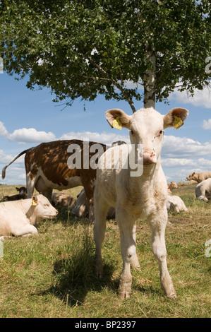 Kuh Euter Kuh Euter, Euter Stockfoto, Bild: 30713066 - Alamy