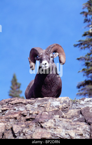 Rocky Mountain Bighorn Sheep Ram (Ovis Canadensis), Jasper Nationalpark, Kanadische Rockies, Alberta, Kanada - Stockfoto