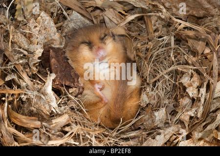 Gemeinsamen Siebenschläfer, träge, Muscardinus Avellanarius, Erhaltungszucht-Programm, UK - Stockfoto
