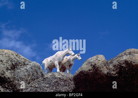 Mountain Goats Billy und Kindermädchen (Oreamnos Americanus), Kathedrale Provincial Park, BC, Britisch-Kolumbien, - Stockfoto