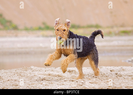 Airedale Terrier Hund - Ball abrufen - Stockfoto