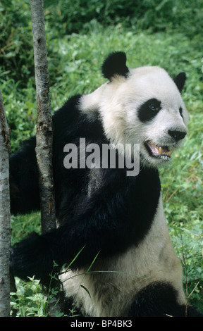 Giant Panda steht gegen ein Bäumchen, Wolong, China - Stockfoto