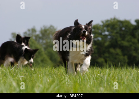 Border-Collie laufen - Stockfoto