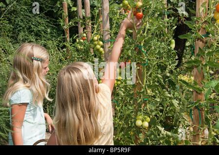 Mädchen, die frische Tomaten pflücken - Stockfoto