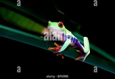 Rotäugigen Blatt Frosch, Agalychnis Callidryas, Costa Rica - Stockfoto