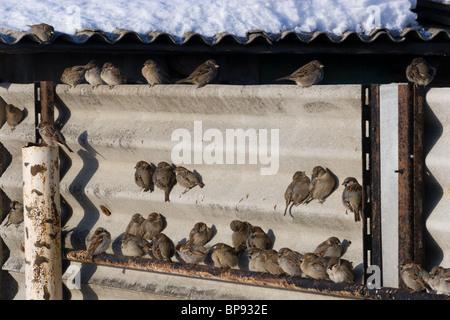 Haussperlinge Beflockung und zwitschern zusammen - Stockfoto
