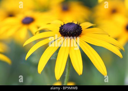 Gelben Rudbeckia Blumen hautnah - Stockfoto