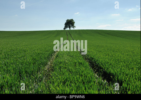 Ein Feld mit Traktor Wanderwege führen durch die Ernte auf einem Baum. Somerset, England. - Stockfoto