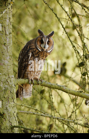 Lange eared Eule (Asio Otus) im Baum Lärche - Stockfoto