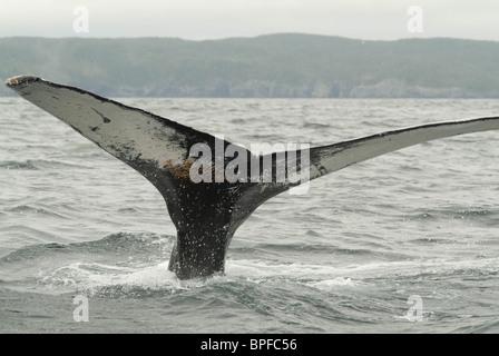 Neufundland ist ein großartiger Ort, um im Spätfrühling Frühsommer Buckelwale in ihrer natürlichen Umgebung zu sehen. - Stockfoto