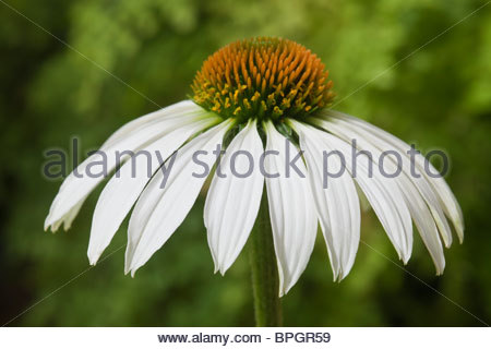 wei e sonnenhut echinacea purpurea 39 alba 39 vor sonnenhut echinacea purpurea stockfoto bild. Black Bedroom Furniture Sets. Home Design Ideas