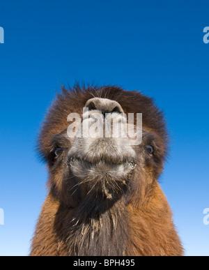 Baktrischen Kamel Camelus Batrianus Zucht männlich im südlichen Mongolei Wüste Gobi winter - Stockfoto