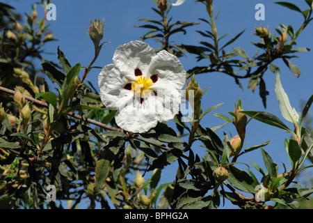 Cistus X cyprius Blume im Garten Großstrauch - Stockfoto