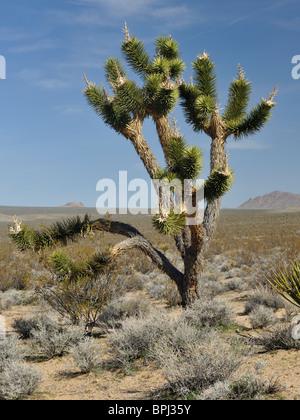 Joshua Baum (Yucca Brevifolia) in der Mojave National Preserve, Kalifornien - Stockfoto