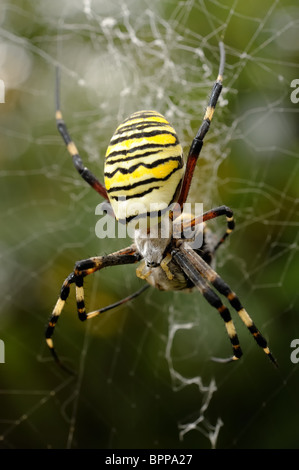 wasp spider stockfoto bild 103606609 alamy. Black Bedroom Furniture Sets. Home Design Ideas