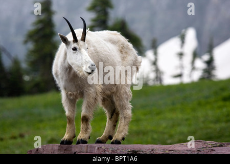 Rocky Mountain Goat stehend auf einem Felsen im Glacier National Park, Montana. Oreamnos Americanus. - Stockfoto