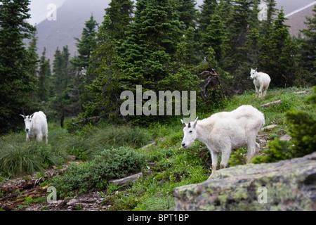 Rocky Mountain Goat Familie im Glacier National Park, Montana. Oreamnos Americanus. - Stockfoto