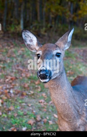 White tailed Deer (Odocoileus Virginianus). - Stockfoto