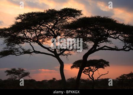 Acacia Tortilis Baum in der Serengeti Nationalpark, Tansania - Stockfoto