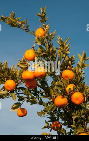 Reife Mandarinen - Stockfoto