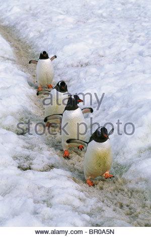 Eine Gruppe von Gentoo Penguins einen Pfad verwenden - Stockfoto