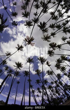 Einem niedrigen Winkel Blick auf Palmen (Palmsonntag) im Kamehameha Palmenhain auf Molokai, Hawaii. - Stockfoto