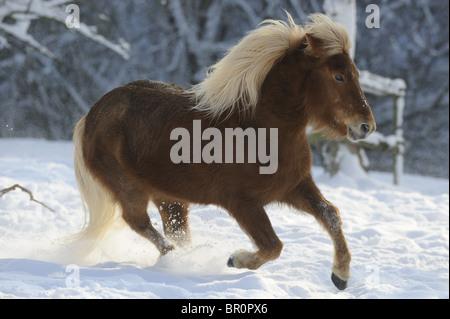 Isländische Pferd (Equus Ferus Caballus) im Galopp auf einem verschneiten Weide. - Stockfoto
