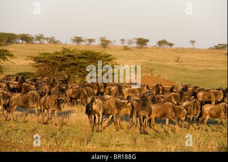 Blaue Gnus (Connochaetes Taurinus), Serengeti Nationalpark, Tansania - Stockfoto