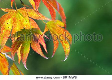 japanischer ahorn acer palmatum 39 autumn glory 39 stockfoto. Black Bedroom Furniture Sets. Home Design Ideas